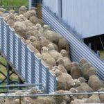 shearing shed ramp