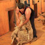 shearing shed sheep