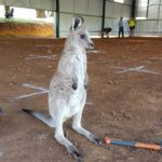 wallaby in shearing shed