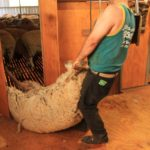 workman in shearing shed
